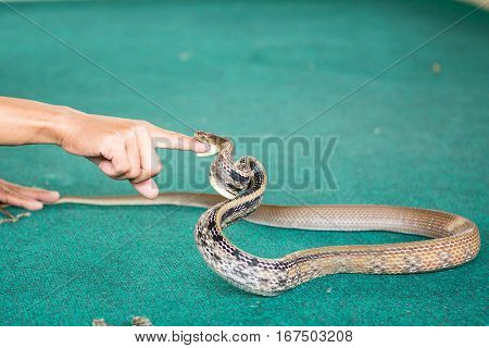 Pattaya Thailand show snakes by playing with a snake during the show