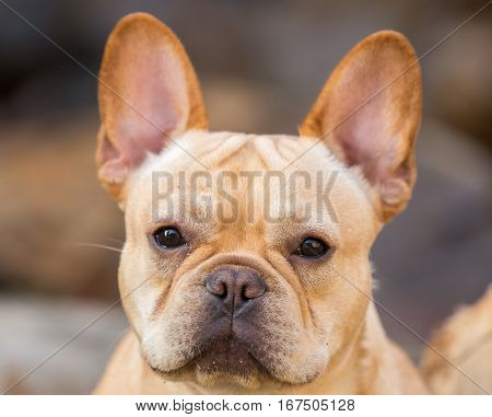 Young French Bulldog (Canis lupus familiaris) Headshot