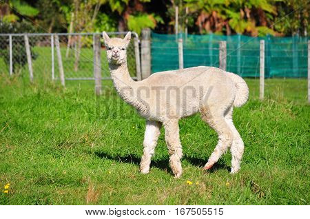 Alpaca On Green Grass