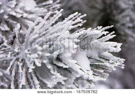 Detail from conferious tree covered with snow in winter at mountain Kozomor, Serbia