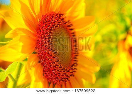 Girasol detallado con colores amarillos y naranjas vivos