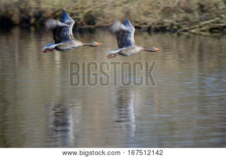 Greylag Goose in flight. A greylag goose flies purposefully over an expanse of water.