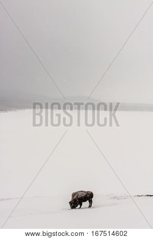 American Bison or buffalo standing alone in a field with snow