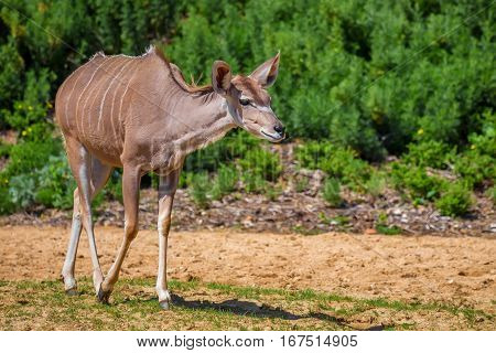 Beautiful female greater kudu or Tragelaphus strepsiceros