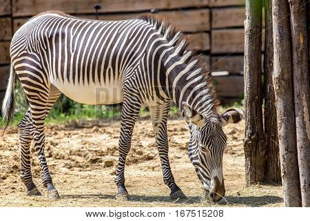Grevy's zebra or Equus grevyi stands in front of the rock
