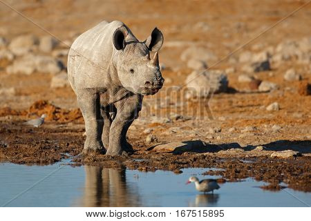 A black rhinoceros (Diceros bicornis) at a waterhole, Etosha National Park, Namibia