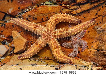Colorful yellow starfish in a rock pool, South Africa