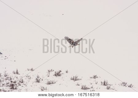 Bald Eagle flying through the air during a snowstorm