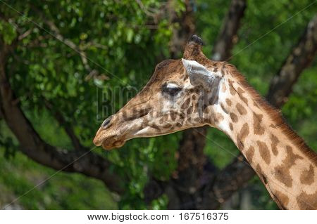 Close-up of Kordofan giraffe or Giraffa camelopardalis antiquorum also known as the Central African giraffe