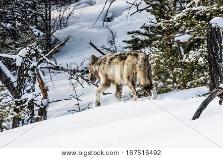 Gray wolf in the snow at Yellowstone National Park