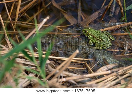 Marsh frog is sitting in a swamp polluted with polyethylene