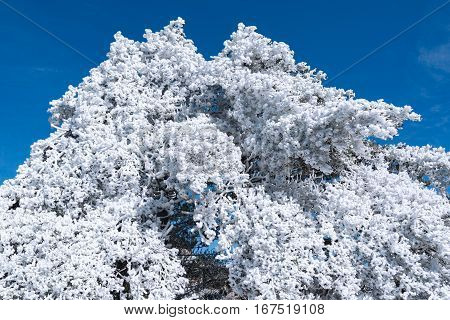 Winter crowns of the trees in Huangshan National park. China.