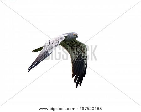 Montagus harrier in flight isolated on a white background