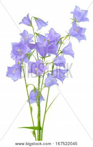 Beautiful Blooming Bouquet Of Bluebell Flowers Isolated On White Background, Element Of Decor, Close