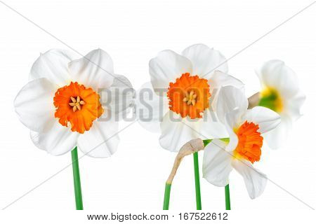 Beautiful Spring White And Yelllow Daffodil Flowers Isolated On White Background, Close Up