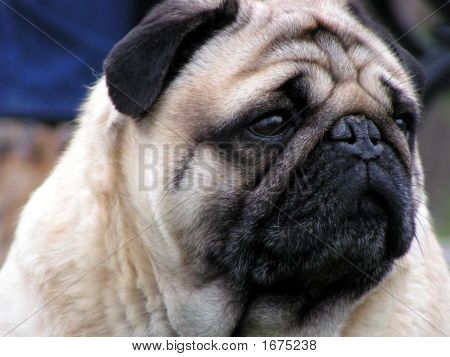 Cute Pug Dog Face