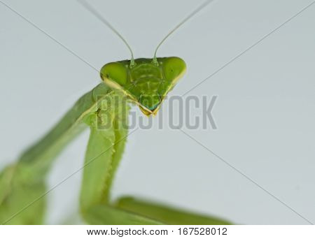 A Praying mantis is captured in a closeup.