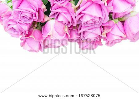 Violet blooming fresh roses border isolated on white background