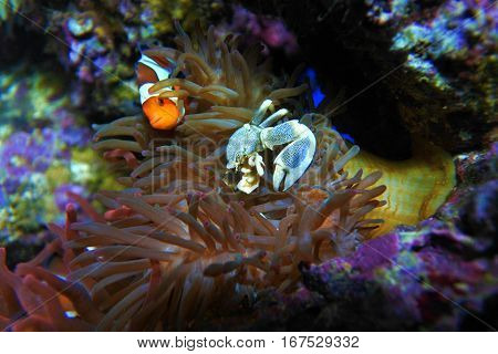 Anemony crab and clown fish. Live and hide from predators in sea anemones.