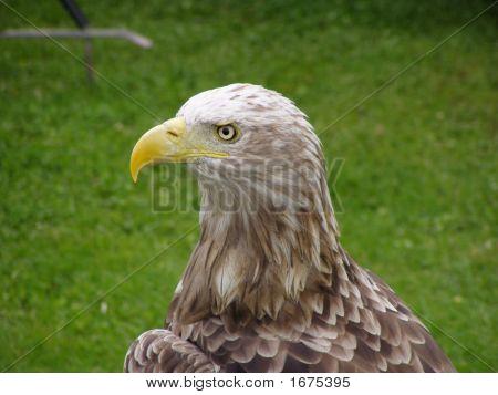 Sea Eagle Close-Up