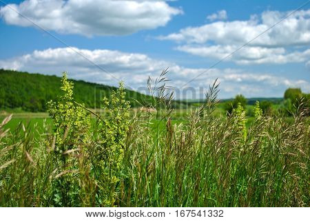 Grass and ears in the field in Russia