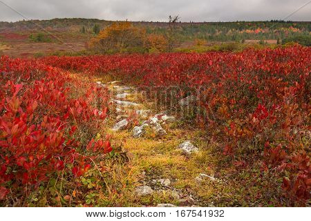 Red autumn leaves by rocky and stony path across Dolly Sods Wilderness area in West Virginia