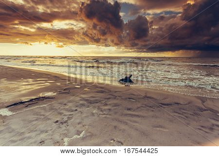 Baltic sea coast at golden romantic sunset time with trunks and tree roots in water on empty shore clear yellow sand. Natural background.