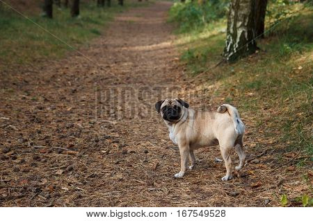A pug standing on a path in a forest