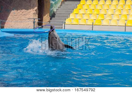 Dolphin in the pool water dolphin show