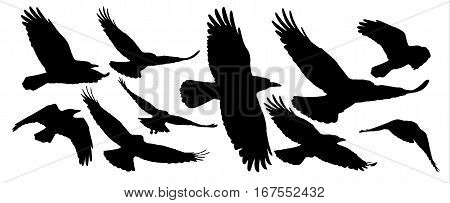 Set of black isolated silhouettes of crows. Collection of different birds position.