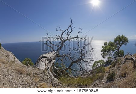 Relict pine trees above the sea. Crimea; September.