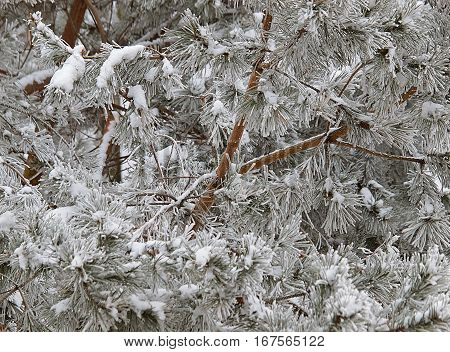 Winter frost on the tree.   Covered with frost and snow and frost branches of a tree in a park in Lodz.