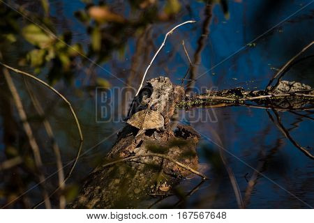 Red Eared Slider sunning on a surprise warm winter's day