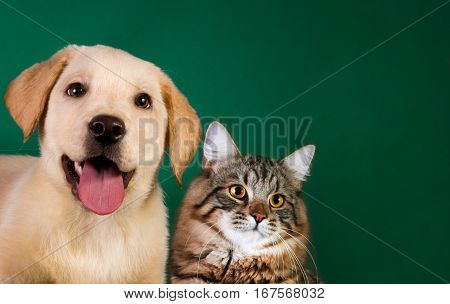 Cat and dog, siberian kitten and golden retriever looks at right.