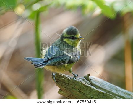 Very young Blue Tit ( Cyanistes caeruleus )