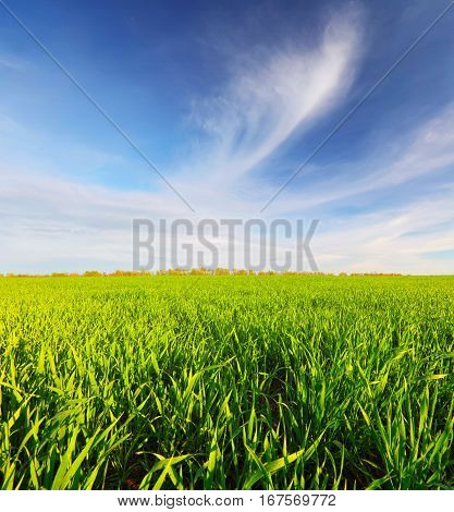 Spring green meadow below blue sky. Spring colorful background. Bright spring sunny day. Field of young wheat in spring morning.