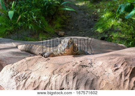 Komodo Dragon standing on a rock in the sun
