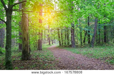 Country road in beautifull wild forest covert. Nature trees in forest.