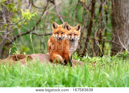 Brotherly love - red fox kits sitting close together near their den