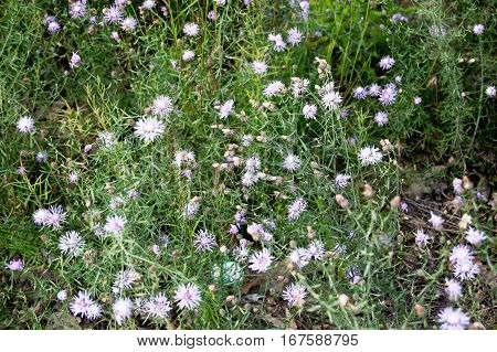 Wild flowers, small florets of violet color above overhead view. Steppe landscape detail. Selective focus.