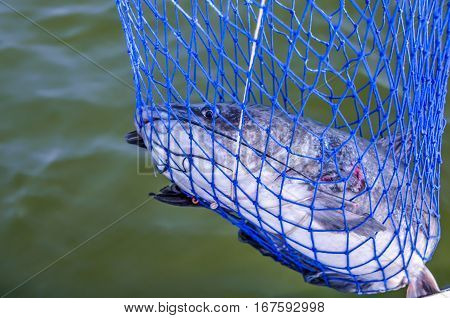Catfish caught in fisherman's net.  Fishing equipment used to help bring in fish.  Recreational sporting activity of fishing.
