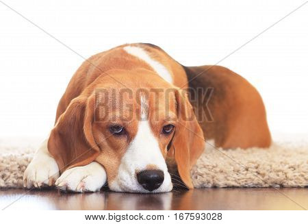 Upset Dog On Carpet