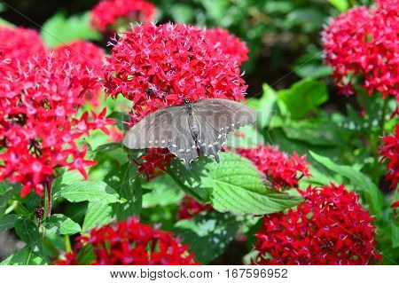 Pipewine Swallowtail Butterfly
