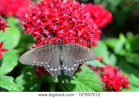 Pipewine Swallowtail Butterfly On The Red Flower