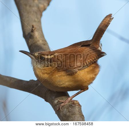 Carolina Wren (Thryothorus ludovicianus) perched on a tree