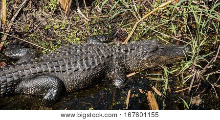 An American alligator napping on the edge of a stream