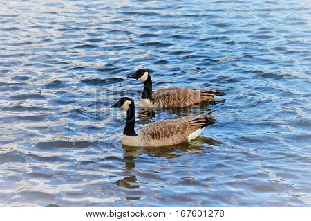 Two (2) Canadian Geese in the water