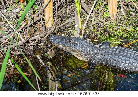 An American alligator on the edge of a marshy stream with pine cones and other vegetation surrounding