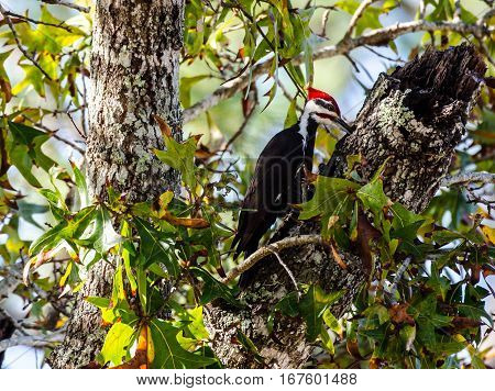 Pileated woodpecker as it is pecking a tree