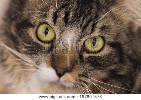 Gato malhado de olhos amarelos e olhar penetrante